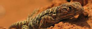 Leopard_lizard