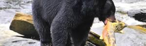 bear_feeding
