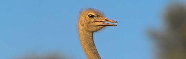 Ostrich Evolution