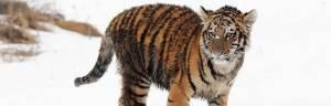 tiger_extinct