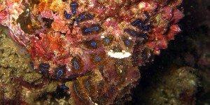 Blue-ringed-octopus-David Breneman