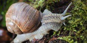 Macro roman snail on forest litter, closeup