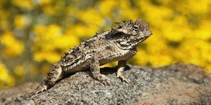 A Small Coast Horned Lizard (Phrynosoma Coronatum); Riverside County, California, Usa
