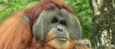 Orangutan_site