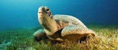 Sea-Turtle-for-site