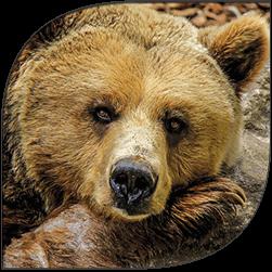 bear-site