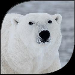 polar-bear-site