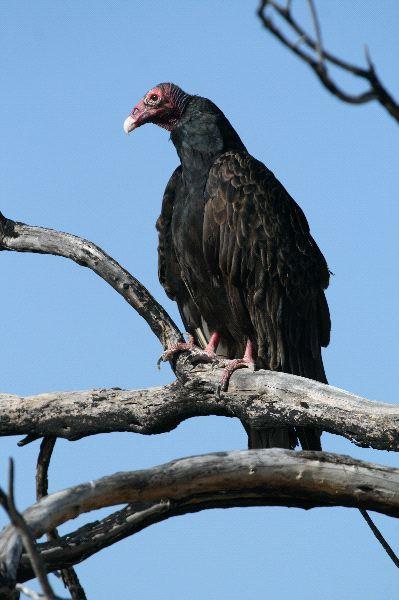 Turkey Vulture Information