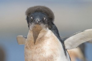 Adelie Penguin Chick Facts