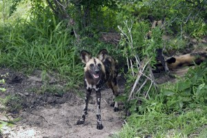 African Wild Dog Information