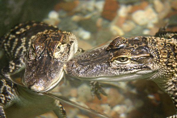 Alligator - Family Alligatoridae
