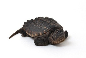 Alligator Snapping Turtle Facts and Information