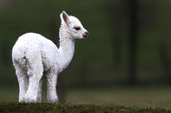 Alpaca - Vicugna pacos