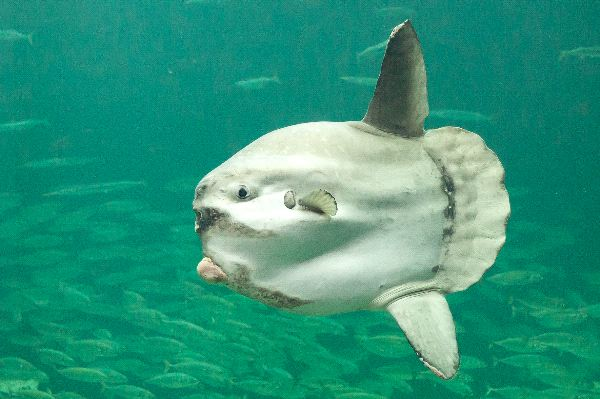 Ocean Sunfish Facts