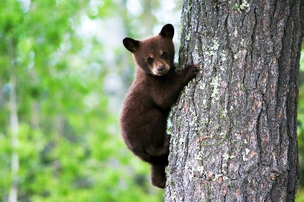 a903366d9d7 Black Bear Cub - Animal Facts and Information