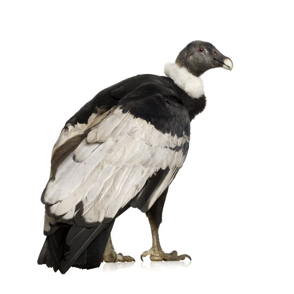 Andean Condor Facts