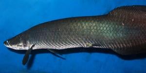 Arapaima Fish Facts