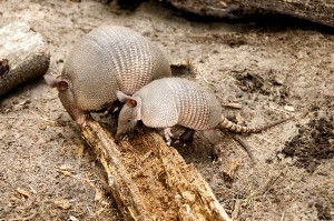 Nine-Banded Armadillo Information