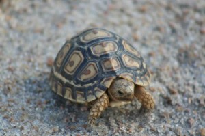 Baby Leopard Tortoise Facts
