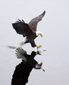 Bald Eagle Information
