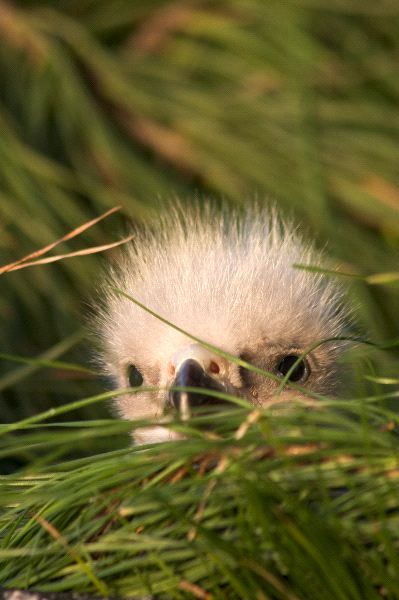 Bald Eaglet - Haliaeetus leucocephalus