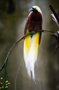 Bird of Paradise Information
