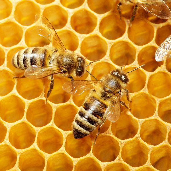 Honey Bee - Animal Facts and Information