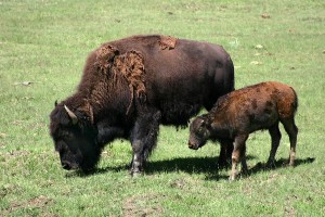 Bison Calf Facts