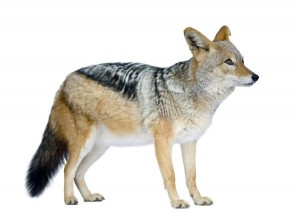 Black-Backed Jackal Information