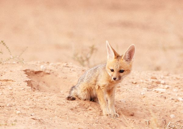 Black Backed Jackal - Canis mesomelas