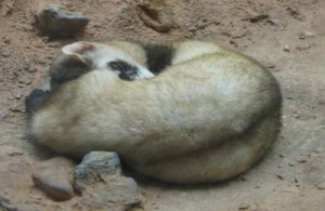 Black-Footed Ferret Facts