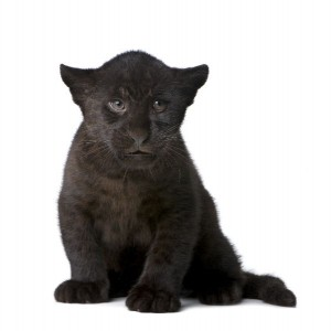 Black Jaguar Cub Facts