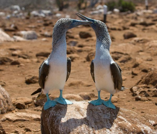Blue-Footed Booby Information