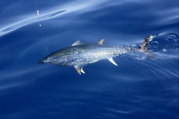 Atlantic Bluefin Tuna Facts and Information