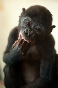 Bonobo Monkey Infant Facts