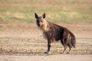 Brown Hyena Facts