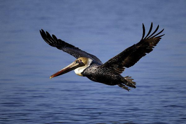 Brown Pelican Information
