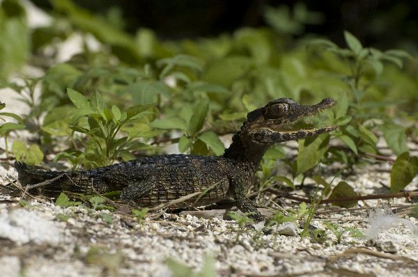 Caiman - Family: Alligatoridae