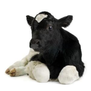 Cow Calf Facts