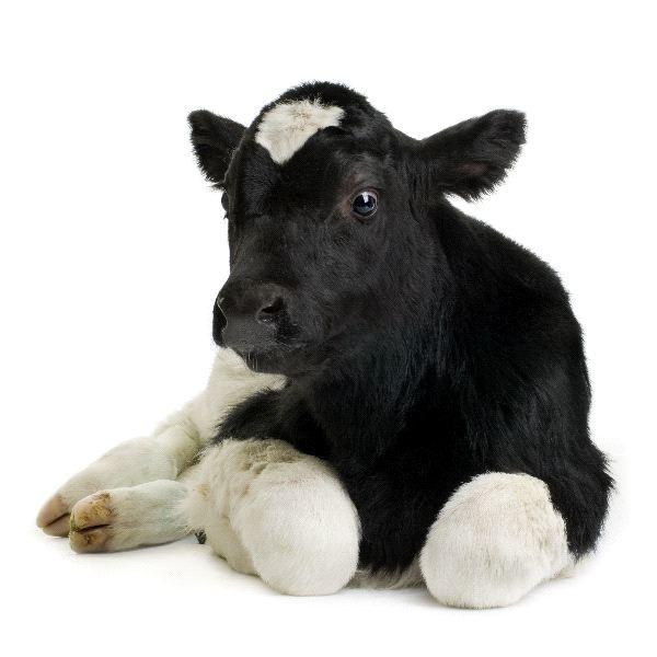 Cow - Genus: Bos