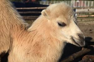 Camel Calf Facts