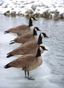 Canadian Goose Information
