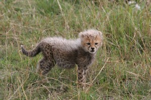 Cheetah Cub Facts