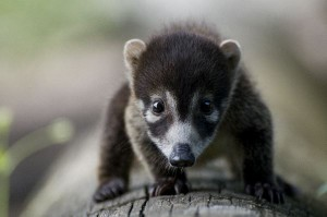 Coati Cub Facts
