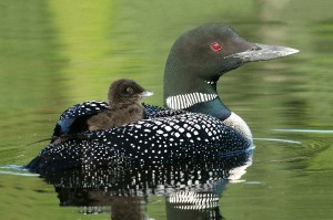Common Loon Facts