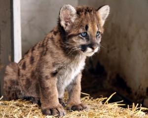 Cougar Cub Facts
