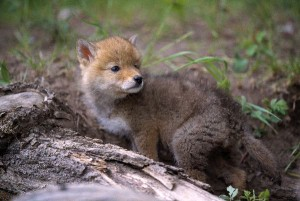 Coyote Pup Facts