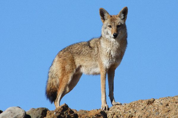 Coyote - Animal Facts and Information