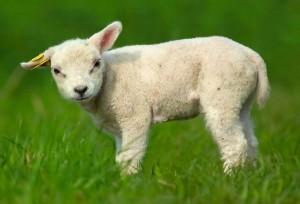Lamb Facts