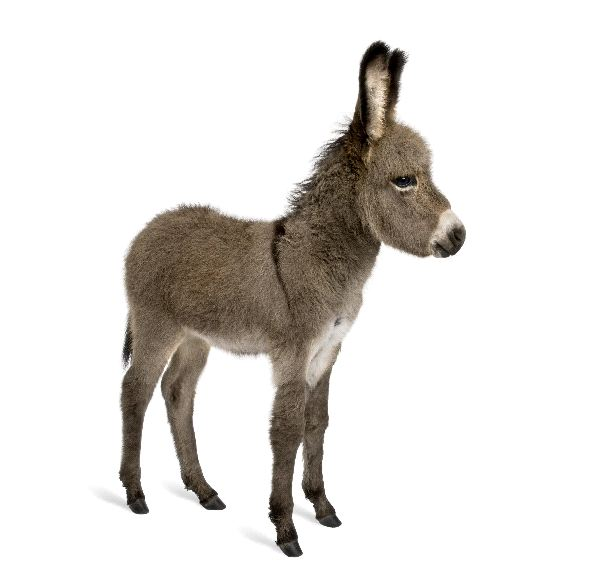 Donkey foal animal facts and information for Burro blanco